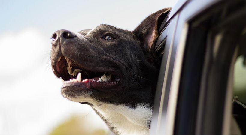 dientes limpios perros