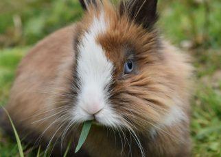 conejo de angora comiendo
