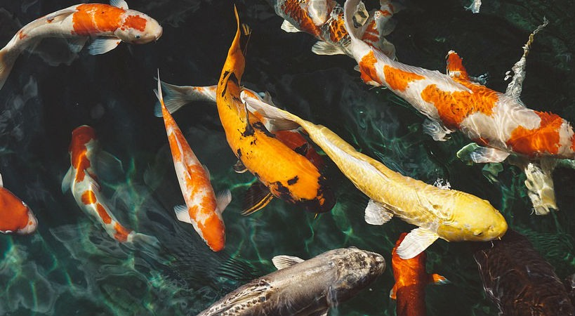 peces koi biodiversidad