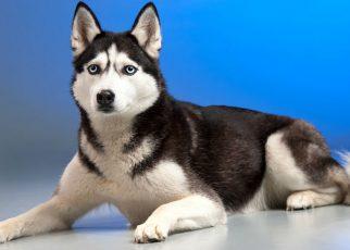 Características de un Husky Siberiano y por qué elegirlos en los criaderos profesionales