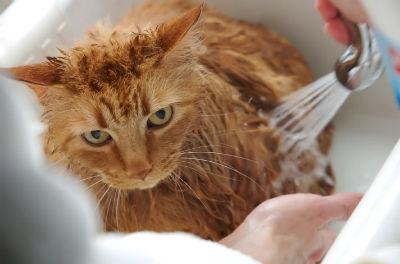 Banando al gato