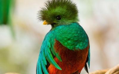 Quetzal guatemalteco
