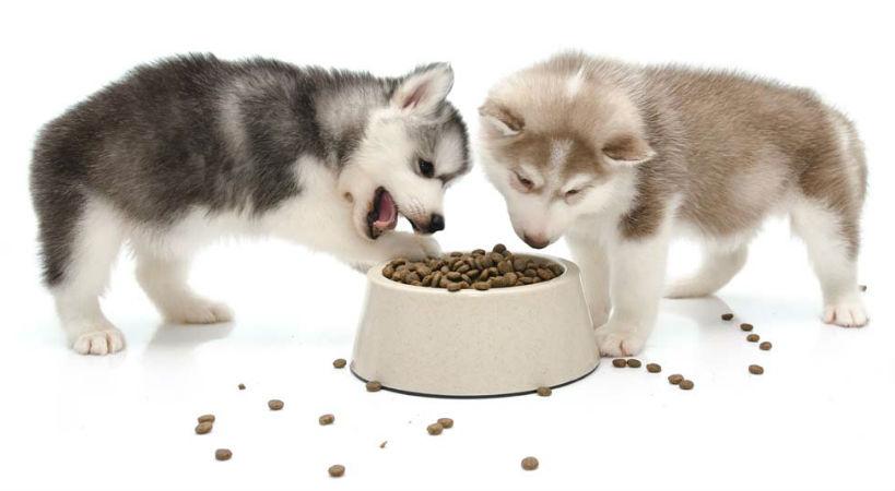 Alimentacion del Husky Siberiano