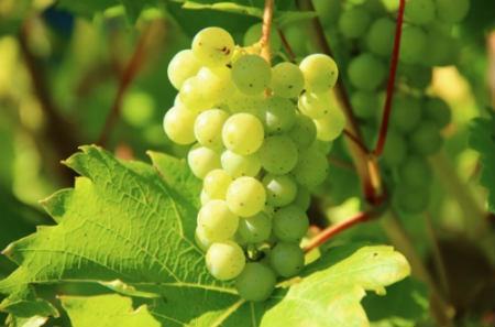 Variedades de uva en la cocina