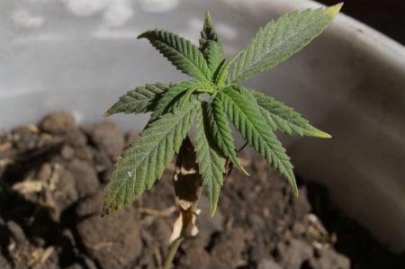 Condiciones ambientales que necesita la marihuana