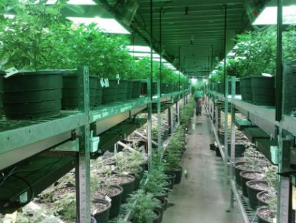 consejos luz cultivo marihuana