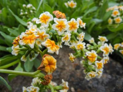 Blackwood flower