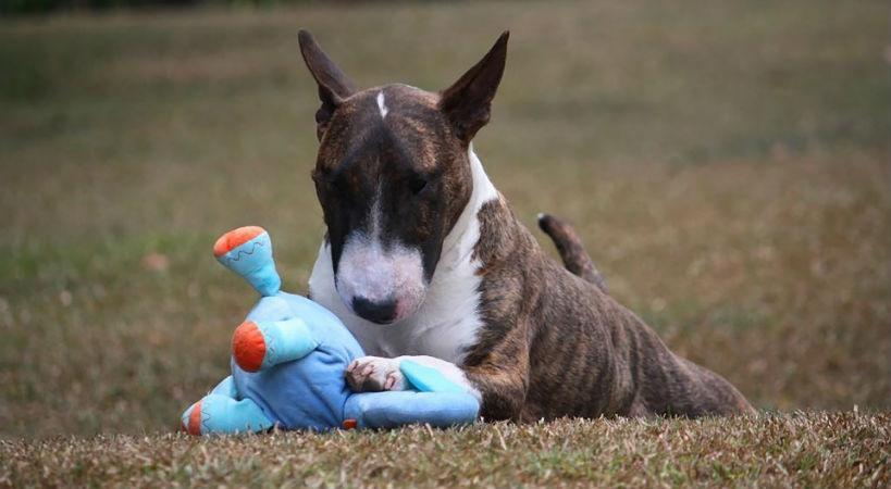 Bull Terrier miniatura aporta felicidad