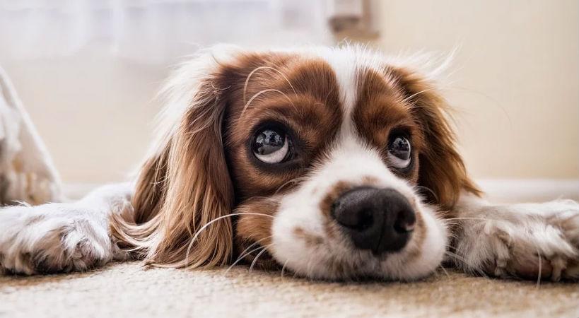Cuando un perro tiene parásitos