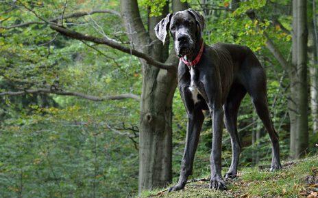 las razas de perros mas grandes que existen